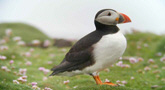Puffin auf Skellig Michael